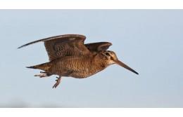С 20 марта открыта охота на самцов глухаря и тетерева, а с 21 – на самцов вальдшнепа